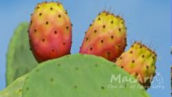 Premix kaktus