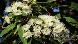 Aromat eukaliptus